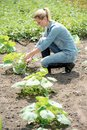 Pretty woman agronomist working in field, checks eco growing pumpkin Royalty Free Stock Photo