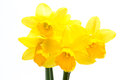 Pretty yellow daffodils white background Royalty Free Stock Photo