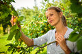 Pretty young woman picking apricots lit by warm summer evening light shallow dof color toned image Stock Photography