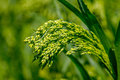 Preview green field plant millet background a Stock Images