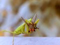 The Prey Mantis and the fly 2 Royalty Free Stock Photo