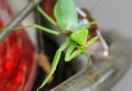 Preying mantis closeup detailed shot of mentis Stock Image