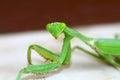 Preying mantis closeup detailed shot of mentis Stock Images