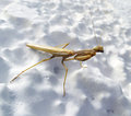 Preying mantis photo of a Royalty Free Stock Photos