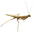 Preying mantis photo of a Royalty Free Stock Images