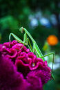 Preying mantis a praying is perched on a colorful flower Royalty Free Stock Photos