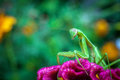 Preying mantis a praying is perched on a colorful flower Royalty Free Stock Photo