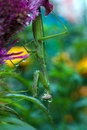 Preying mantis a praying is perched under a colorful flower after the rain Royalty Free Stock Photography