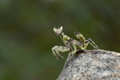 Preying mantis in thailand and southeast asia Royalty Free Stock Photography