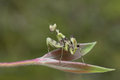 Preying Mantis in Thailand. Royalty Free Stock Photo