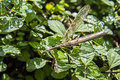 Preying mantis walking stick a large also known as on a green bush Stock Images