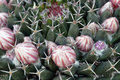 Prickly cactus with flower buds detail of Stock Photo