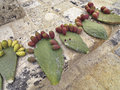 Prickly figs on the stone to dry Stock Photos