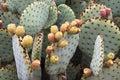 Prickly kaktusopuntiapear Fotografering för Bildbyråer