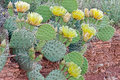 Prickly Pear Blooms Royalty Free Stock Photos