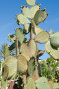 Prickly pear cactus aka nopal in tenerife spain Royalty Free Stock Images