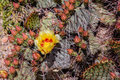 Prickly pear cactus flower one starts to bloom first with many more on the way in big bend national park texas Stock Photos