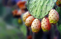 Prickly pear cactus fruits and leaf sardinia italy the fruit of pears commonly called fruit fig indian fig is edible is often used Royalty Free Stock Images