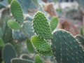 Prickly pear cactus large with many pads Royalty Free Stock Photo