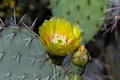 Prickly pear cactus opuntia yellow flower on a in arizona s sonoran desert Stock Image