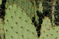 Prickly pear cactus spines closeup of Stock Image