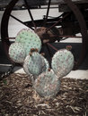 Prickly pear cactus in texas Royalty Free Stock Images