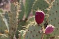 Prickly Pear Fruit Royalty Free Stock Photo