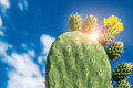 Prickly pear leaf on a blue sky in the south of italy Stock Photos