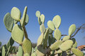 Prickly pear Royalty Free Stock Photo