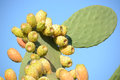Prickly pears as in nature on its wild and thorny plant Royalty Free Stock Photography