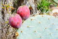 Prickly pears close up two purple red Royalty Free Stock Images