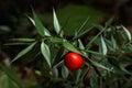 Prickly ruscus aculeatus plant