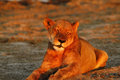 Pride of Africa The Regal Lion Royalty Free Stock Photo