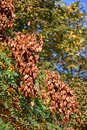 Pride of india tree in autumn time Royalty Free Stock Photo