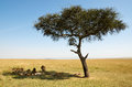 Pride of lions resting under an acacia after eating a wildebeest Stock Images