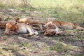 Pride of lions in serengeti sleeping national park Royalty Free Stock Image