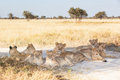 Pride of lions young resting in the shade khutse game reserve botswana africa Stock Photos