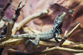 Prideful lizard standing still on a tree branch Stock Photography