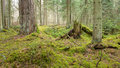 Primeval coniferous forest Stock Photos