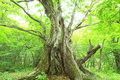Primeval forest of Chestnut tree Royalty Free Stock Photo