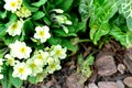 Primrose blossom in the garden Stock Image