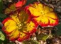 Primrose, in sun with raindrops