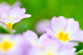 Primrose violet flowers on green background macro close up Royalty Free Stock Photo