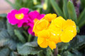 Primroses beautiful in the garden Royalty Free Stock Photography
