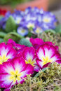 Primroses beautiful in the garden Stock Image