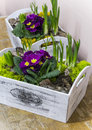 Primroses hyacinths and purple in white pots Stock Image