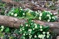 Primroses on log wild yellow Stock Photography