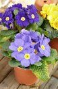 Primroses pots of on wooden board Stock Image