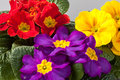 Primroses primula in red yellow and purple Royalty Free Stock Images