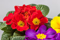 Primroses primula in red yellow and purple Royalty Free Stock Image